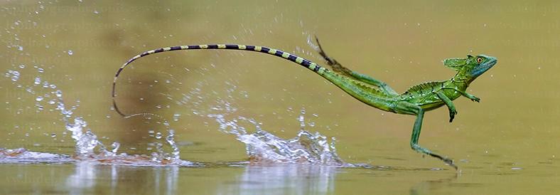 Basiliscus caminat sobre l'aigua.